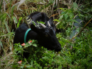 Banaue Goat